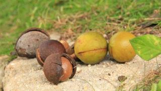 本物の天然ククイナッツの実
