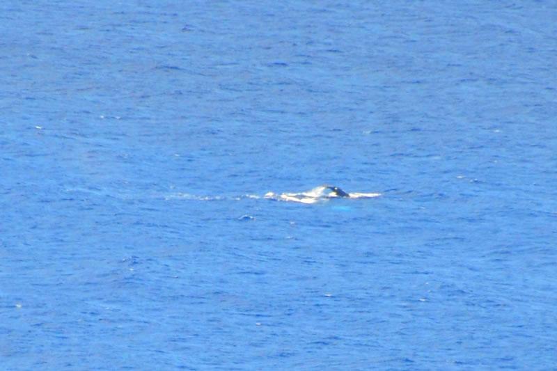 マカプウからクジラを見る