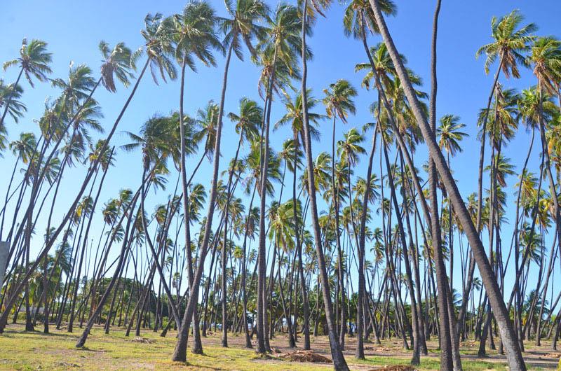 モロカイ島のココナッツグローブ