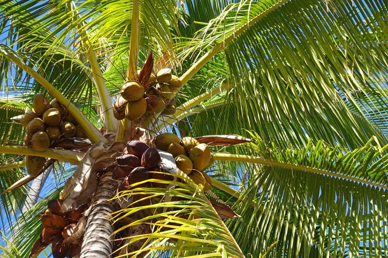 ヤシの木に付いたココナッツの実