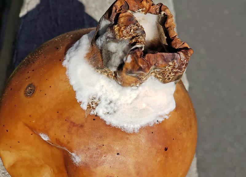 ひょうたんのカビ